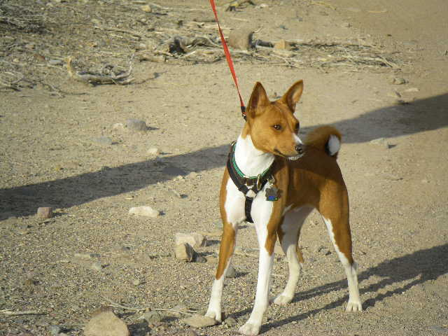 Proud of Who My Dogs Are | Basenji Forums - Your Online