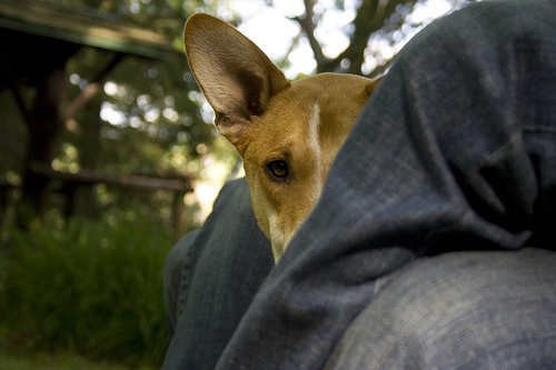 attachment_p_61546_0_friend-s-basenji-mix.jpg