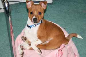 attachment_t_10736_0_scooter-the-basenji-mix.jpg