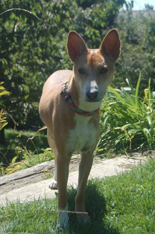 attachment_t_16382_0_basenji.jpg