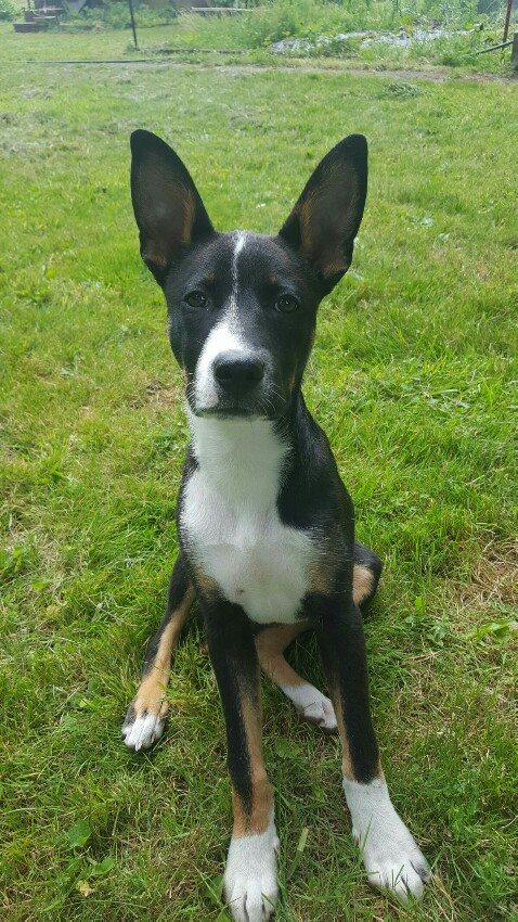 Is My Rescue Mix Part Basenji Basenji Forums Your