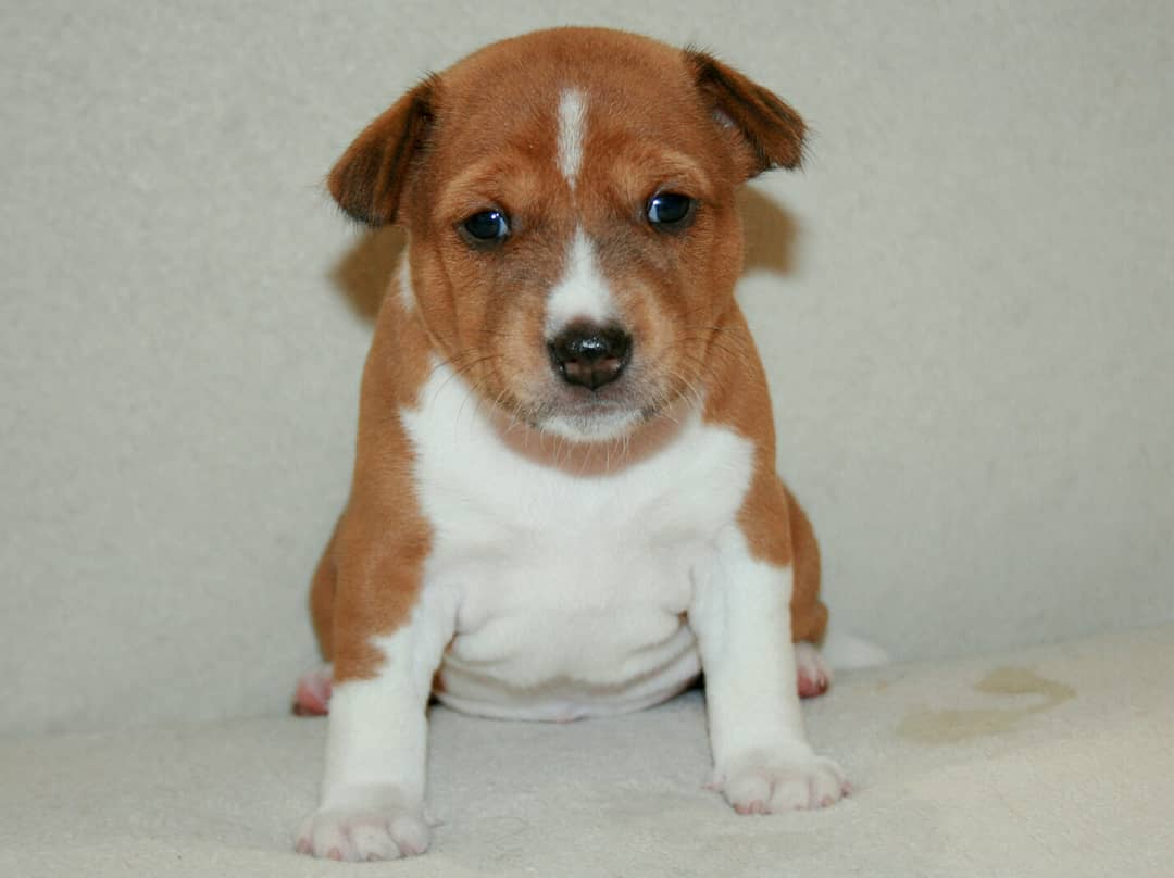 Need advice for newborn basenji | Basenji Forums - Your